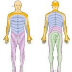 Nervensegmente des Körpers